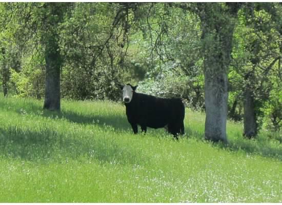 A curious cow.