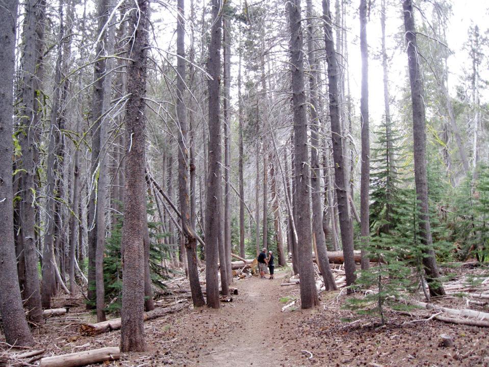 Trail through the dead pine trees.
