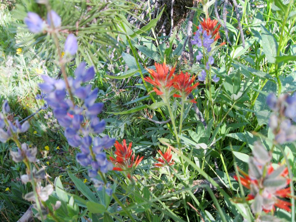 Lupine and paintbrush.