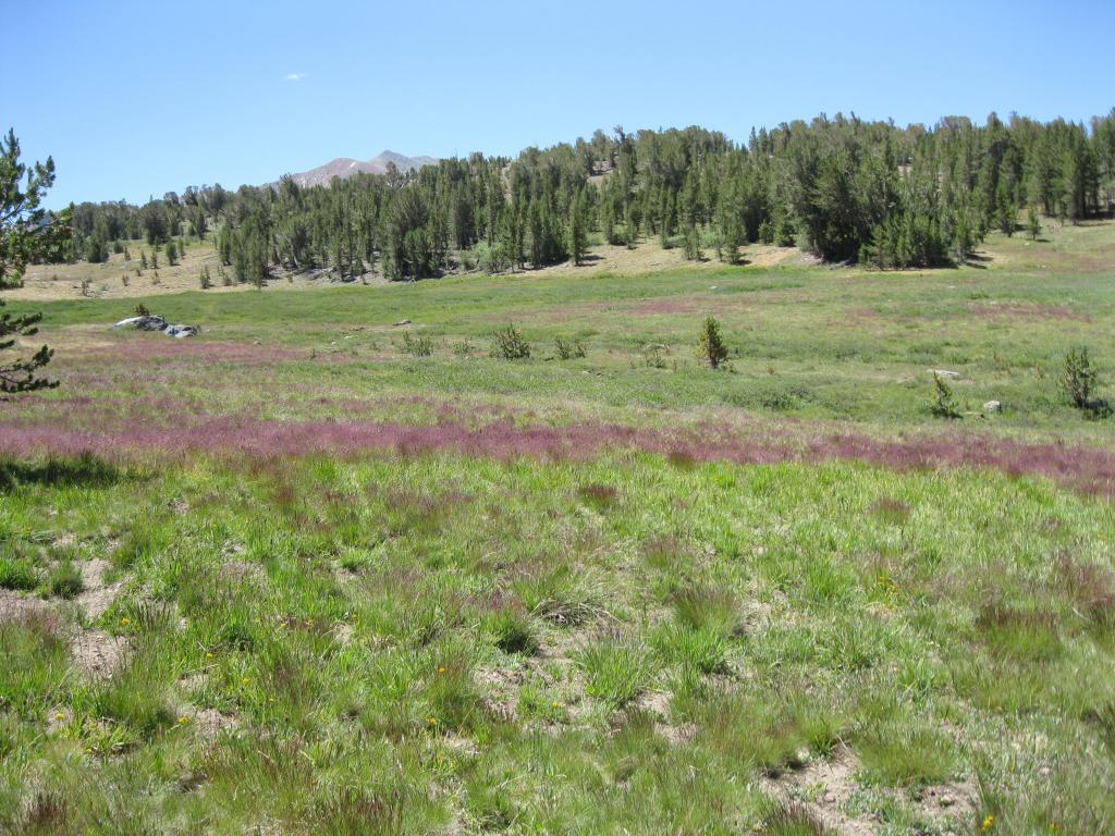 Mauve-colored rye grass grew in the green meadow.