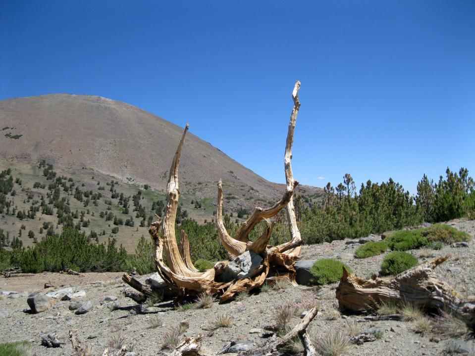 At nearly 11,000 feet, this dead tree was very windblown.