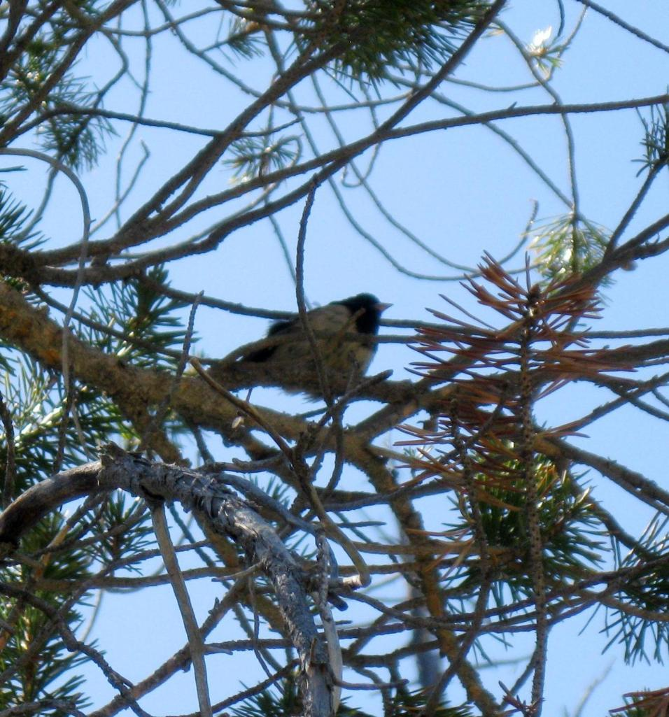 A mountain chickadee.