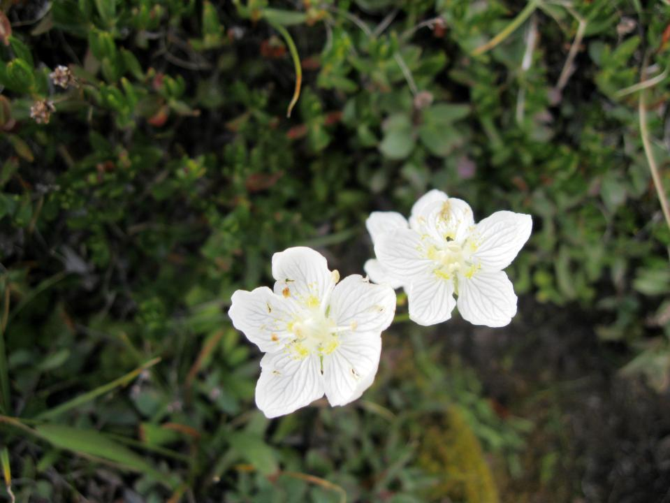 Grass of Parnassus near the creek.