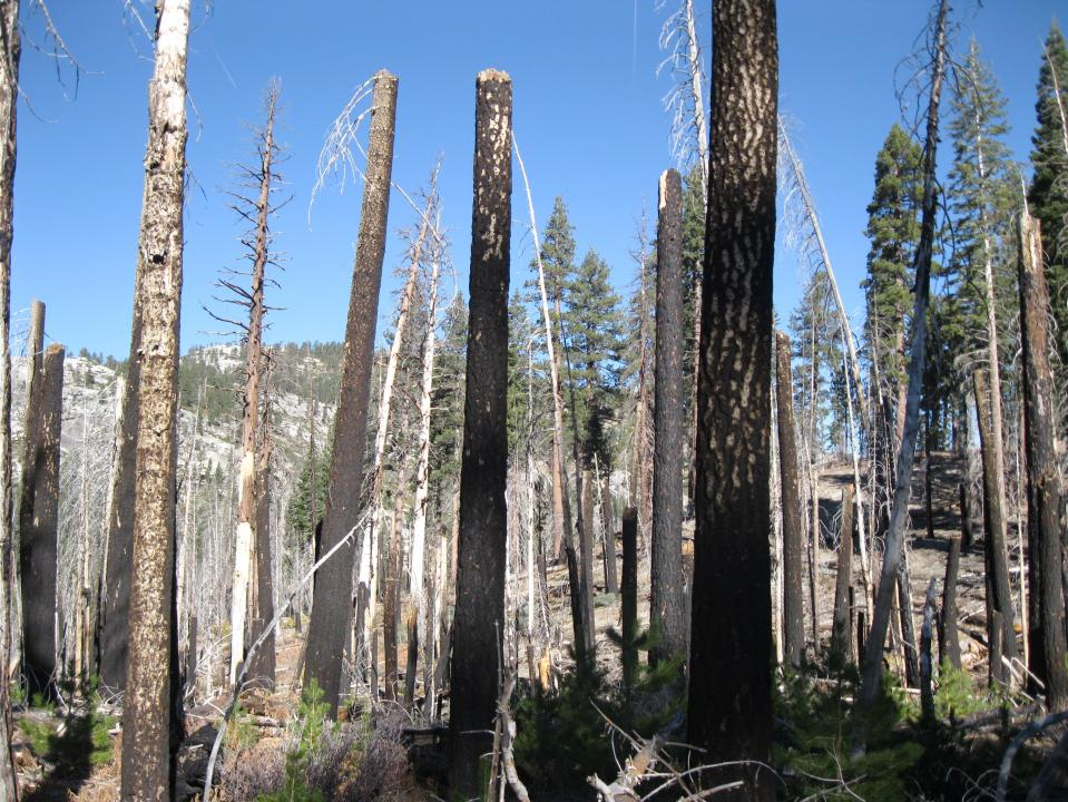 A fire swept through this area in 1987 leaving stick-like tree trunks.