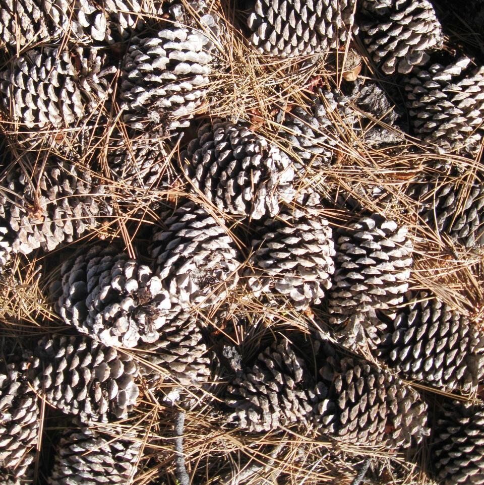 There was beauty in the patch of pinecones.