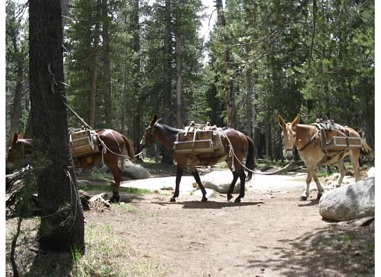 The pack train returned from bringing supplies to the High Sierra Camp.