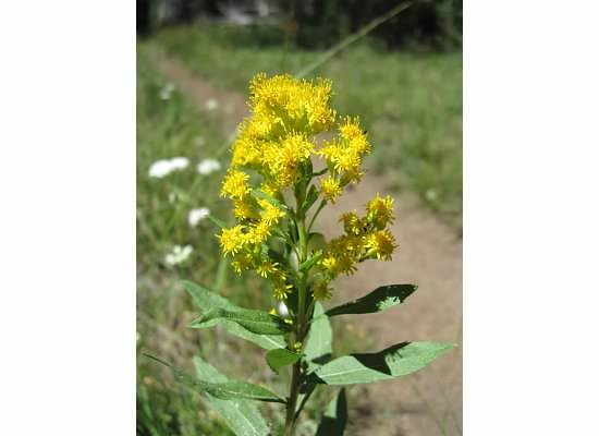 Meadow goldenrod.  This was used by early miners as a divining rod to find water.
