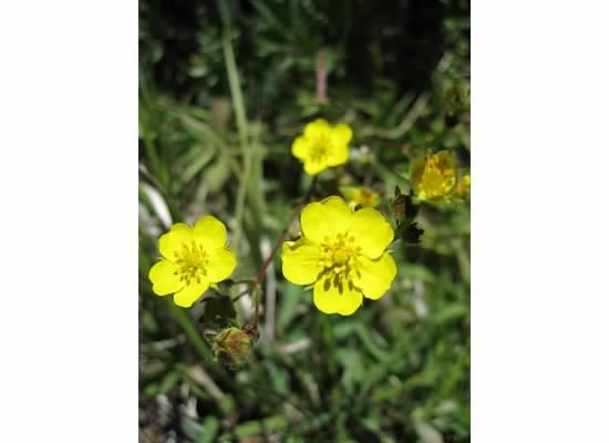Cinquefoil.  Some species were used medicinally.
