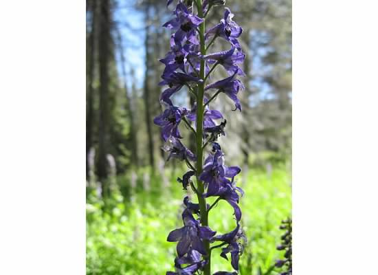 "Tower larkspur.  This flower was called ""sleep-root"" since Indians used its juice to dull the senses of an opponet during games."