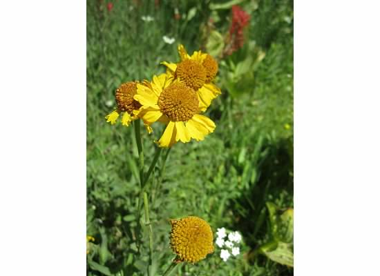 Bigelow's sneezeweed.  Early settlers crushed the flowers into a powder to sniff when they had head colds which made them sneeze.