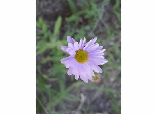 Wandering Daisy, a very common flower in Yosemite.