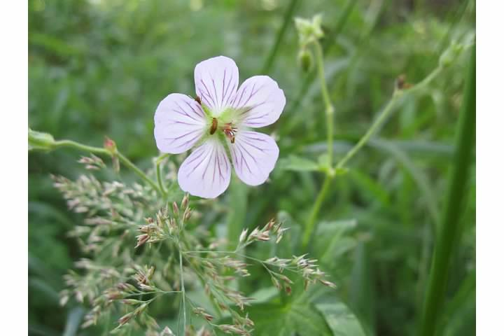 Wild geranium, a cousin to the common yard geranium.