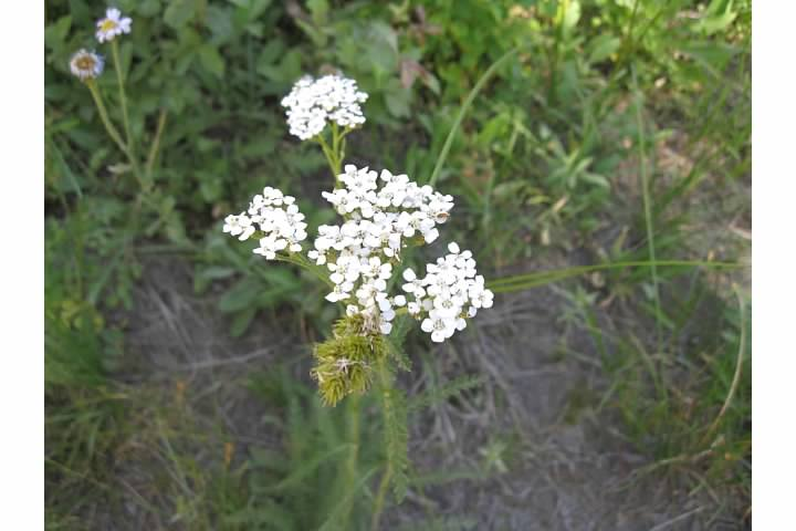 Yarrow.  Native Americans used yarrow to cure toothaches, headaches and stomachaches.