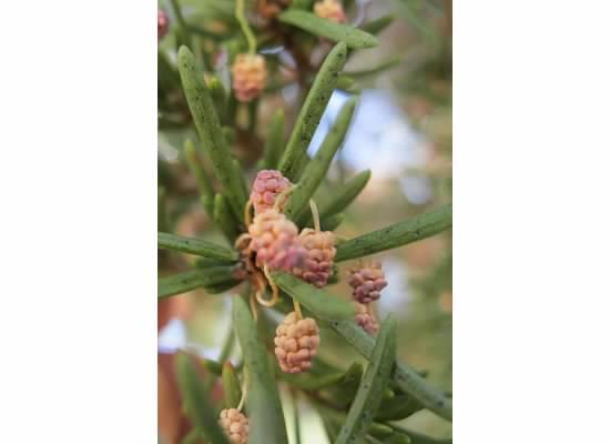 Pine berries?