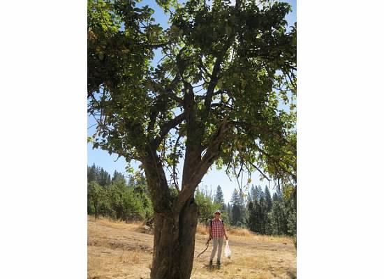 An apple tree.