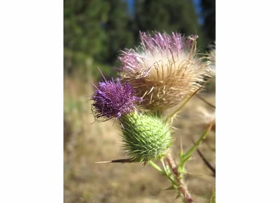 There were several thistles in the orchard.