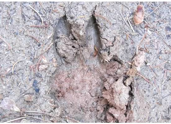 Animal tracks in the mud.