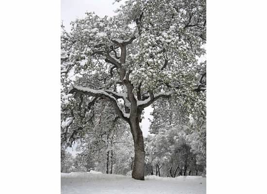 A snowy oak tree.