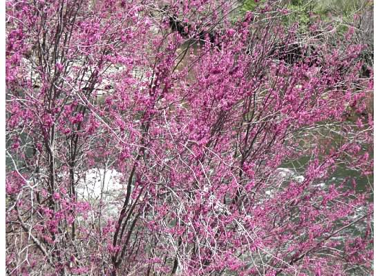 Redbud bushes in bloom.