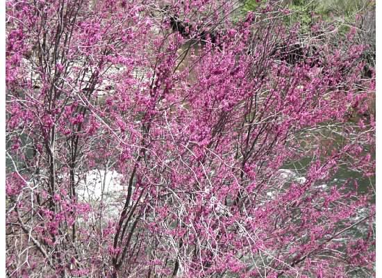 Redbud bushes in bloom.