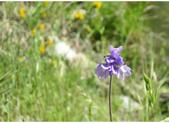 Dichelostemma capitatum, commonly known as bluedick.
