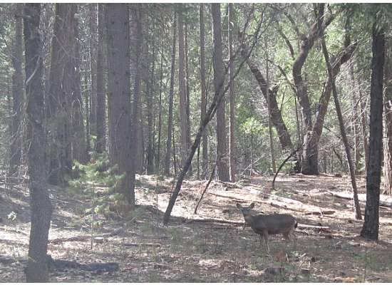 """A mule deer, named for its """"mule-like"""" ears."""