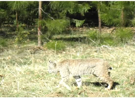 The bobcat blended in well to its surroundings.