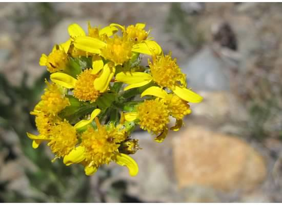 Single-stemmed groundsel.