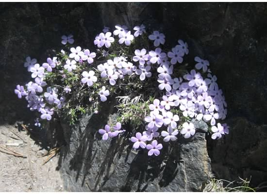 Phlox growing in what appears to be a granite container.