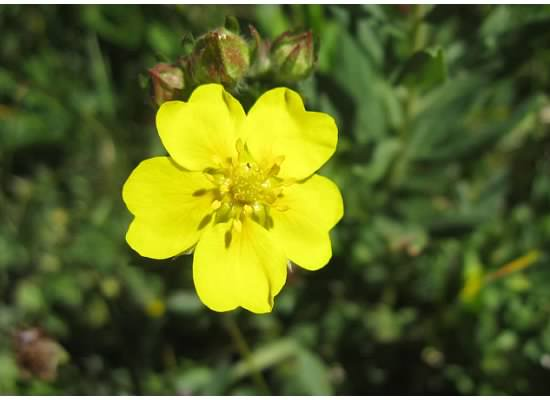 Cinquefoil.  This is becoming one of my favorite flowers.