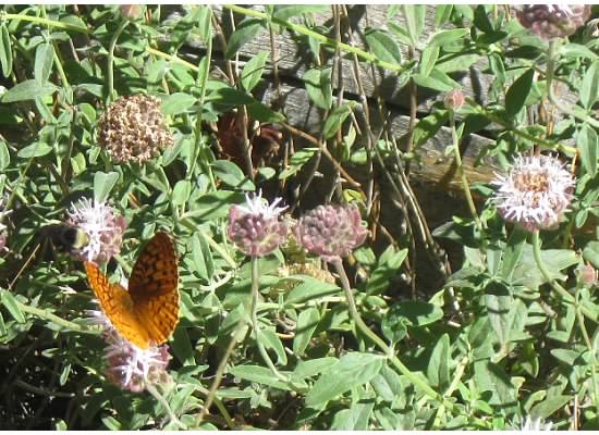 Feeding on mountain pennyroyal.