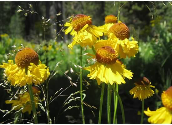 Sneezeweed are fun flowers to find.