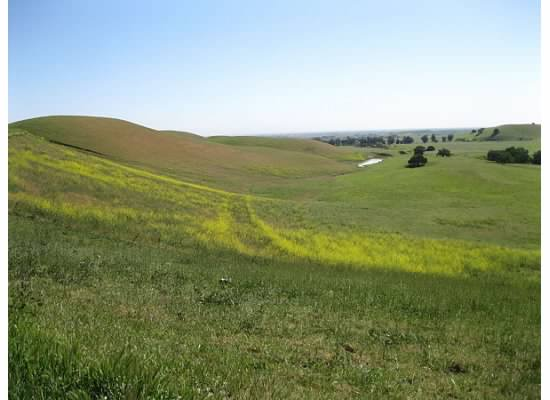 Field mustard brightens the hills.