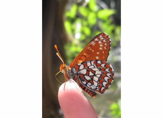 The Butterfly Festival in Mariposa begins on May 1, 2015.