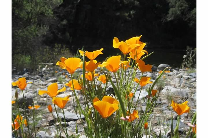 California Poppies near the river.