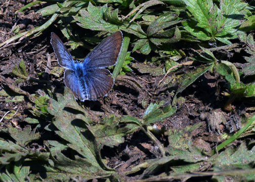 Shasta Blue Butterfly