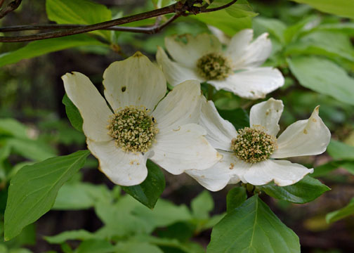 Yosemite National Park, dogwoods