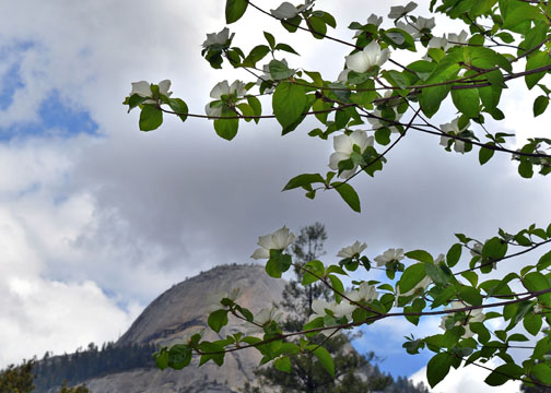 Yosemite National Park, North Dome, dogwoods
