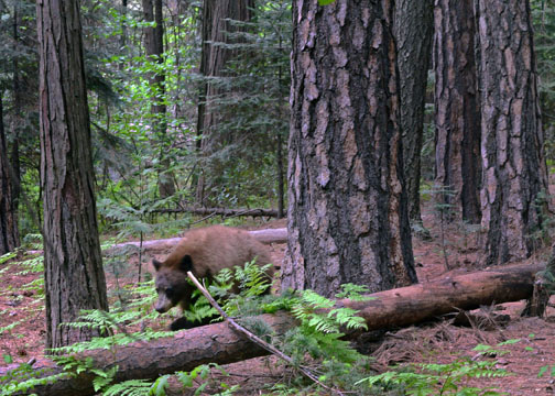 Yosemite National Park, black bear