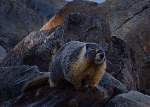 marmot, Yosemite National Park, Gaylor Lakes