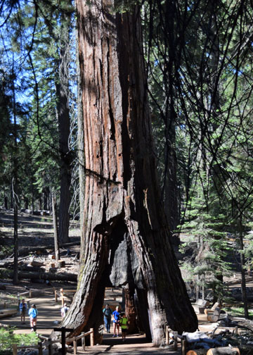 California Tunnel Tree, Mariposa Grove, Yosemite National Park