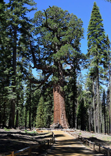 Grizzly Giant, Mariposa Grove, Yosemite National Park