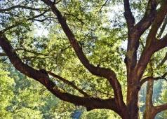 An old oak tree.