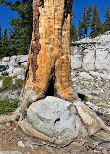 This tree has its root wrapped around the rock in a hug.